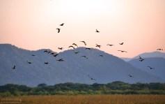 Летят утки... Национальный парк Palo Verde.