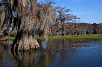Благодаря своей мощной корневой системе, лысые кипарисы очень редко опрокидываются, даже под действием ураганных сил.