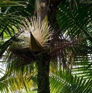Пальмовые цветы, разместившиеся в листе как в лодке.