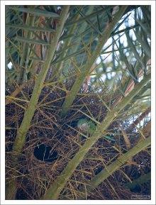 Гнездо попугая на пальме. Parc Güell.