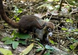 Самец носухи на одной из троп в национальном парке Карара.