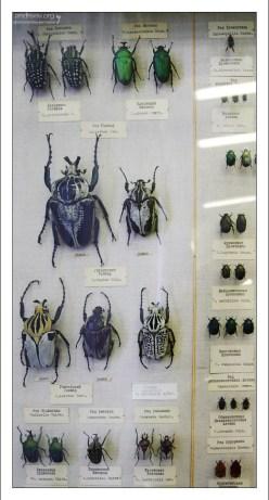 Африканские жуки-голиафы достигают в длину 10-15 см. Зоологический музей.