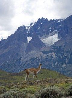 Гуанако позирует на фоне гор. Животные способны развивать скорость до 56 км/ч.