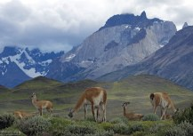 В настоящее время гуанако исчезли из сухих степей и саванн Аргентины и Южной Патагонии, сохранившись теперь только на труднодоступных высокогорьях.