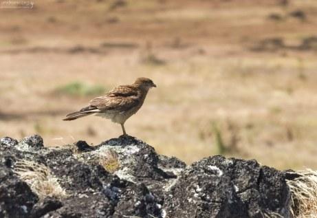 Каракара Химанго (Chimango Caracara) - один из редких видов птиц, встречающихся на острове.