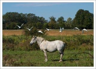 У камаргу довольно примитивный экстерьер: тяжеловатая голова, короткие шея, плечи и спина, мускулистый зад, сильные ноги с широкими лодыжками и очень прочными копытами. Camargue Nature Park.