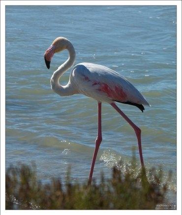 Обыкновенный или розовый фламинго (Phoenicopterus roseus). Camargue Nature Park.