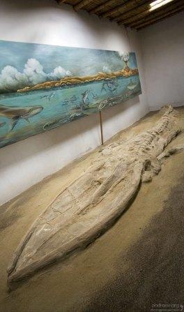 Настоящий, окаменелый скелет древнего кита, возрастом около 5 миллионов лет. Музей в Sacaco.