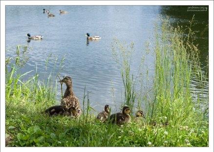 Утка с утятами на берегу Английского пруда. Петергоф.