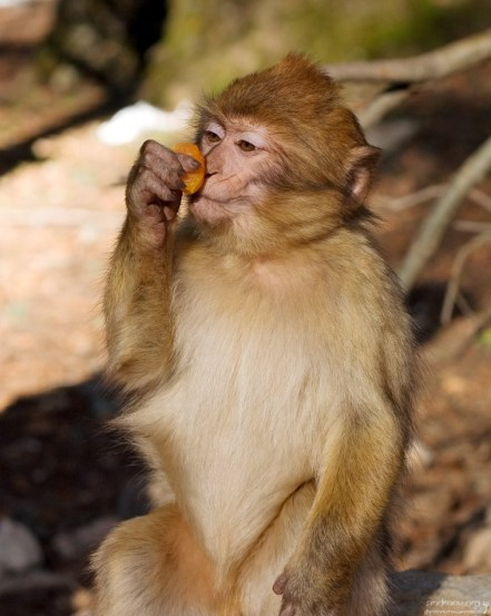 - Мммуаа! Детёныш варварийских обезьян с кусочком кураги.