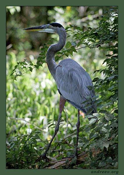 Портрет цапли Great blue heron.