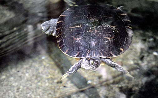 Вольер с пресноводными черепахами в Теннесийском аквариуме.
