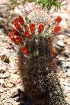 """Кактус """"Рыболовный крючок"""" (Fishhook cactus)."""