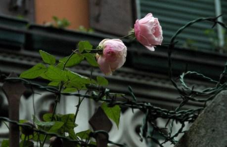 Шипы и розы.