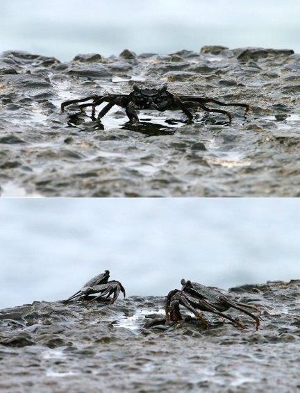 Черные крабы показывают чудеса растяжки.