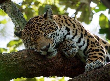 """Ягуар (Pantera onca) - """"родное"""" животное Белиза. Belize Zoo."""