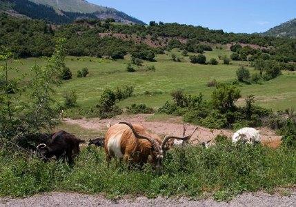 Стадо коз на обочине шоссе Е65.