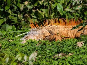 Совсем не видно... Самец игуаны прячется в траве. Belize river.