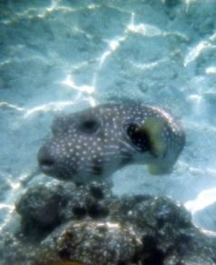Очень любопытная и кусачая рыба-шар. Само-надувается в случае опасности, чтобы казаться больше.