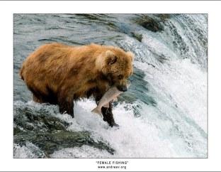 """""""Женская рыбалка"""". Кормящая медведица - Мать, поймавшая очень крупную рыбину."""