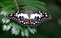 Бабочка Black Swallowtail (парусник, или кавалер). Обитает в Северной, Центральной и Южной Америке.