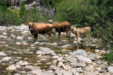 Коровы на водопое.