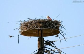 Гнездо аиста и квартирант :) Перама.