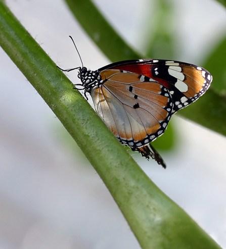 Queen butterfly (королевская бабочка).