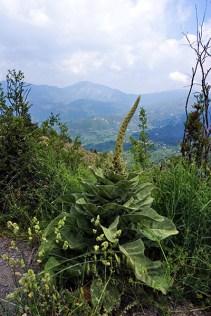 """Дикая """"капуста"""" в горах Parnonas Mountains."""