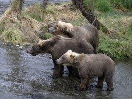 Группа молодых медведей - гопников.