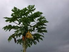 Дерево папайя с плодами.
