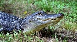 "Аллигатор, переползающий тропинку в парке ""Brazos Bend""."