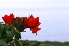 Цветы африканского тюльпанного дерева на побережье острова.