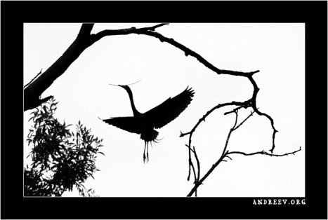 Цапля, строящая гнездо. Фотография в японском стиле.