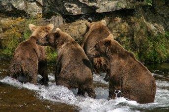 Молодые медведи-двухлетки.