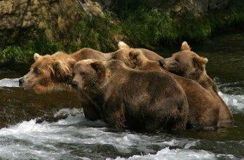 Группа молодых медведей.