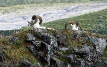 Овечки Dall sheep на перевале Sable pass.