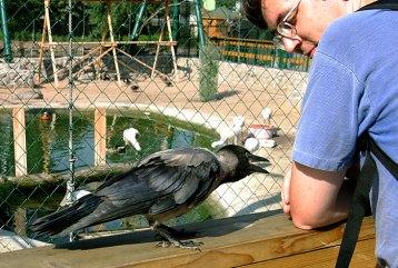 """""""Кушать! Ну кушать же!"""" Предприимчивая ворона в зоопарке."""