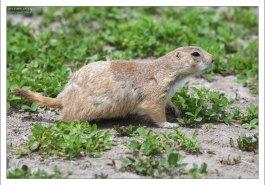 Очень короткий хвост для животного, настаивающего на своей принадлежности к семейству беличьих.