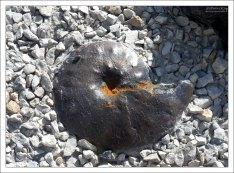 Модель ископаемого головоногого моллюска - аммонита.