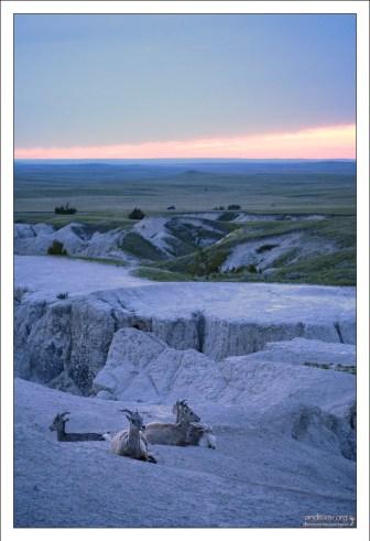 Bighorn sheep на ночевке.