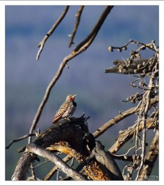 Золотой шилоклювый дятел (Red-shafted flicker).