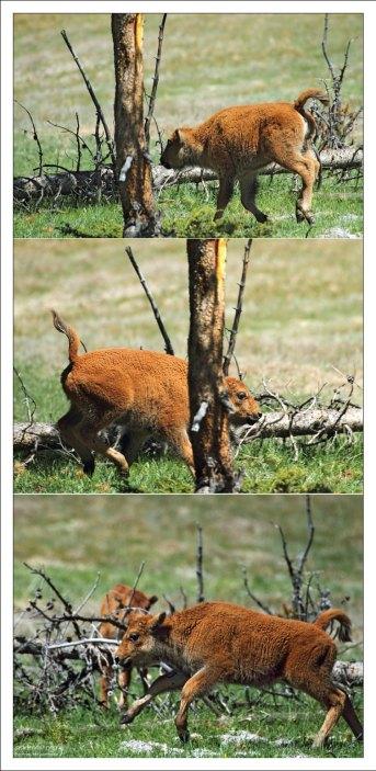 Молодые бизоны очень игривы.