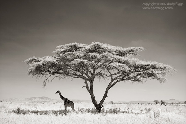 Black and white fine art photo of a giraffe in Africa by Andy Biggs