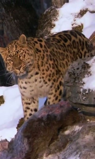 Amur Leopard live wallpaper Android App - Free APK by droidcounty