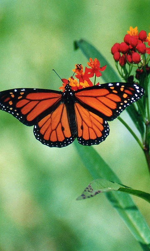 High Definition Animal Wallpapers Butterfly Wallpapers Free Apk Android App Android Freeware