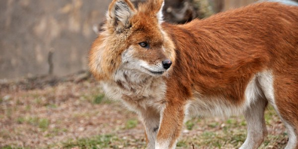 The IUCN Red List of Threatened Species lists the dhole as an endangered species and estimates that fewer than 2,500 mature dholes remain in the wild.