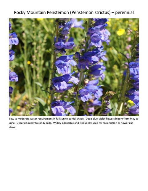 Medium Of Rocky Mountain Penstemon