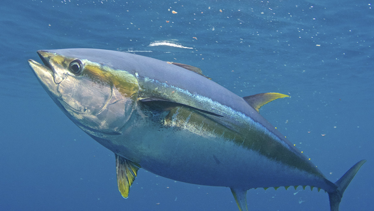 Shelf Wallpaper Hd The How Where And Why Of Fishing For Yellowfin Tuna