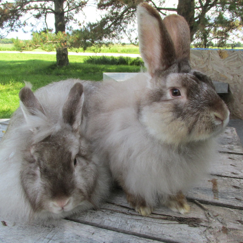 Angora Color Gallery - DOLLY ROCK FARM AND FIBER